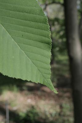 Aesculus flava (Yellow Buckeye), leaf, margin