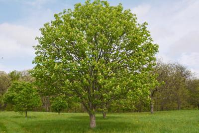Aesculus ×arnoldiana (Arnold Buckeye), habit, spring