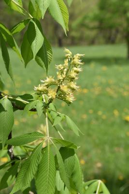 Aesculus glabra f. pallida (Pale Ohio Buckeye), inflorescence