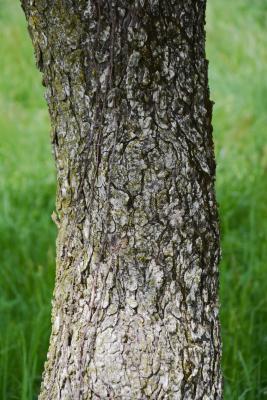 Aesculus glabra var. arguta (Texas Buckeye), bark, trunk