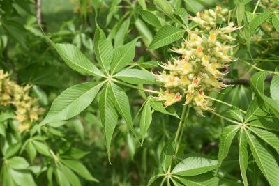 Aesculus ×ambigua (Buckeye), leaf, upper surface