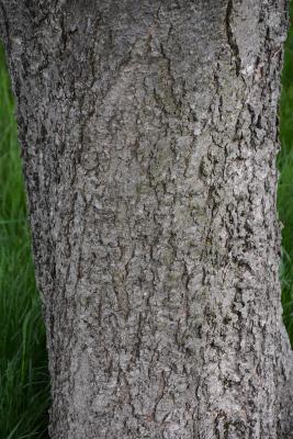 Aesculus ×arnoldiana (Arnold Buckeye), bark, trunk