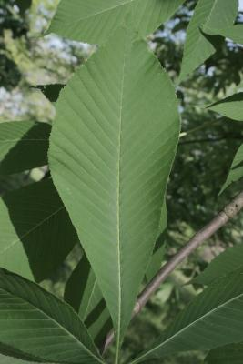 Aesculus flava (Yellow Buckeye), leaf, lower surface