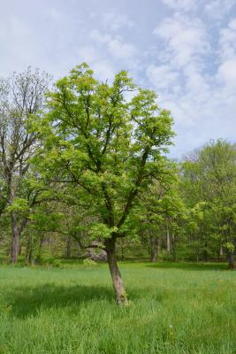Aesculus glabra var. arguta (Texas Buckeye), habit, spring