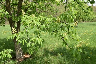 Aesculus glabra f. pallida (Pale Ohio Buckeye), habit, spring