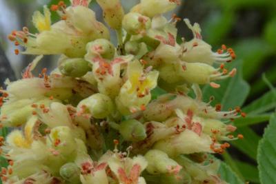 Aesculus arguta (Texas Buckeye), flower, side