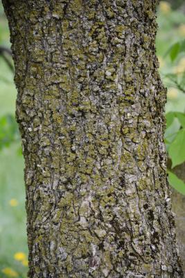 Aesculus glabra (Ohio Buckeye), bark, trunk