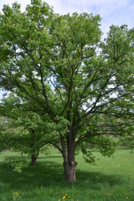 Aesculus glabra var. monticola (Oklahoma Buckeye), habit, spring