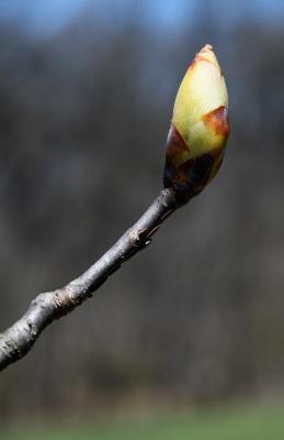 Aesculus glabra var. monticola (Oklahoma Buckeye), bud, flower