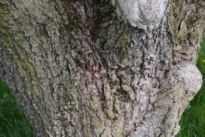 Aesculus glabra (Ohio Buckeye), bark, mature