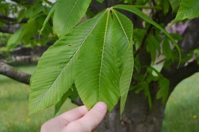 Aesculus glabra var. leucodermis (Whitebark Ohio Buckeye), leaf, upper surface