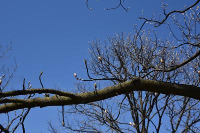 Aesculus glabra var. monticola (Oklahoma Buckeye), bark, branch