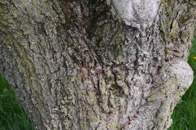 Aesculus glabra var. monticola (Oklahoma Buckeye), bark, mature