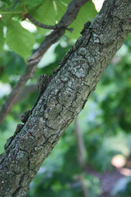 Aesculus hippocastanum 'Baumannii' (Baumann's Horse-chestnut), bark, branch