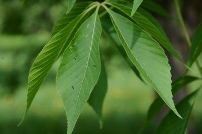Aesculus glabra (Ohio Buckeye), leaf, upper surface