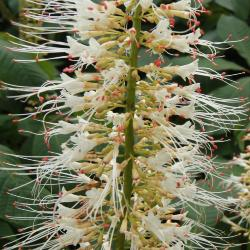 Magnolia salicifolia (Anise Magnolia), fruit, immature