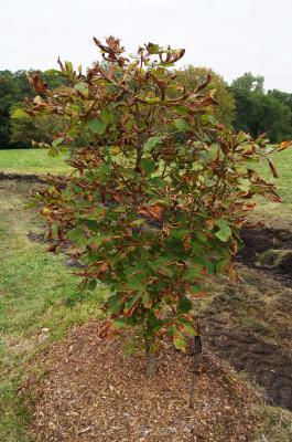 Aesculus turbinata 'Morton Variegated' (Morton Variegated Japanese Horse-chestnut), habit young