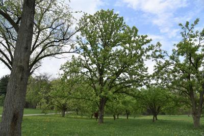 Aesculus (Buckeye), habit, spring