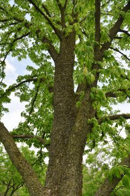 Aesculus (Buckeye), bark, trunk