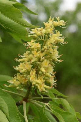 Aesculus (Buckeye), inflorescence
