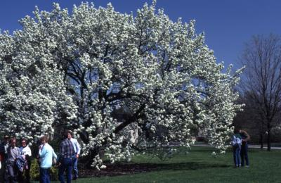 Visitors around crabapple with white flowers in bloom at Arborfest