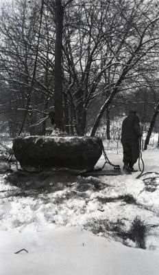 Man pulling root balled tree on sled for winter transplanting