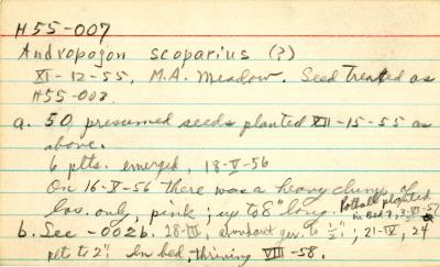 Andropogon scoparius (?)