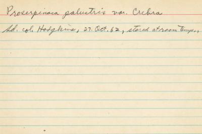 Proserpinaca palustris var. Crebra