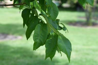 Fraxinus americana var. biltmoreana (Biltmore Ash), leaf, summer