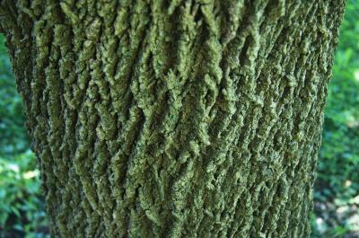 Fraxinus americana (White Ash), bark, trunk