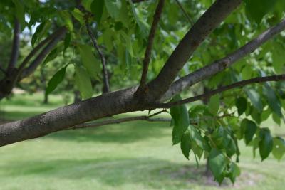 Fraxinus americana var. biltmoreana (Biltmore Ash), bark, branch