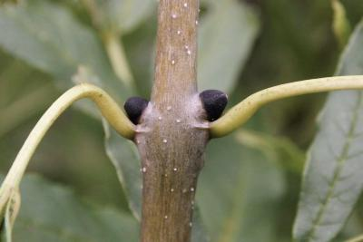 Fraxinus excelsior (European Ash), bud, lateral