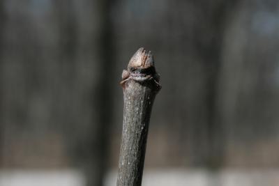 Fraxinus americana (White Ash), bud, terminal