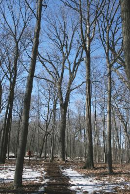 Fraxinus americana (White Ash), habit, winter