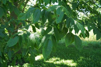 Fraxinus americana (White Ash), leaf, summer