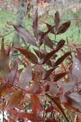 Fraxinus oxycarpa (Persian Ash), leaf, fall