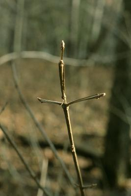 Fraxinus quadrangulata (Blue Ash), bark, twig