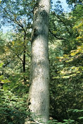 Fraxinus nigra (Black Ash), bark, trunk