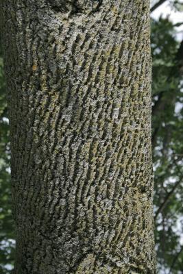 Fraxinus texensis (Texas Ash), bark, trunk