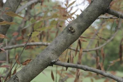 Fraxinus oxycarpa (Persian Ash), bark, branch