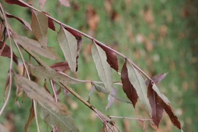 Fraxinus oxycarpa (Persian Ash), leaf, lower surface