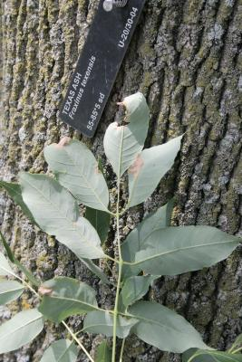 Fraxinus texensis (Texas Ash), leaf, lower surface