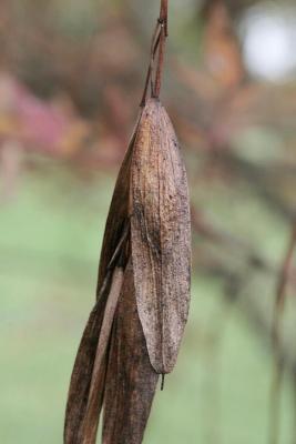Fraxinus oxycarpa (Persian Ash), fruit, mature