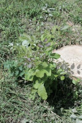Fraxinus texensis (Texas Ash), habit, summer