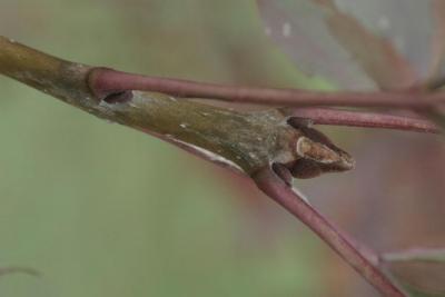 Fraxinus oxycarpa (Persian Ash), bud, terminal