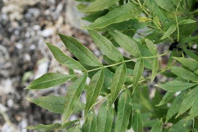 Fraxinus excelsior (European Ash), leaf, upper surface
