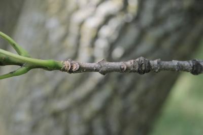 Fraxinus texensis (Texas Ash), bark, twig