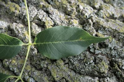 Fraxinus texensis (Texas Ash), leaf, upper surface