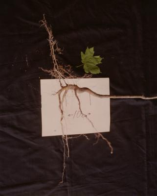 Root research, maple root system growth difficulty in oak forest