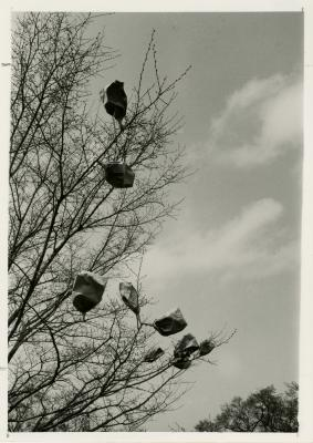 Elm hybridization, bags on trees, George Ware research project